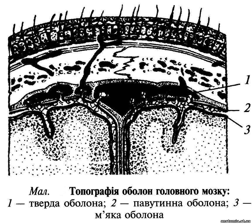 1 - серп великого мозку;
