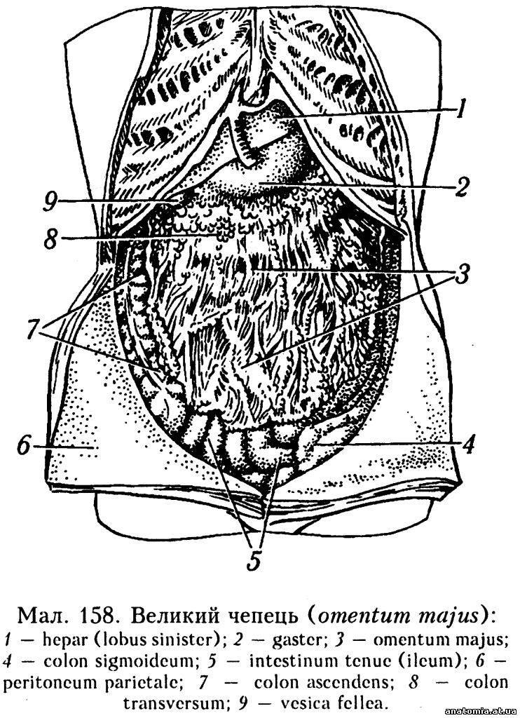 переміщеннями органів