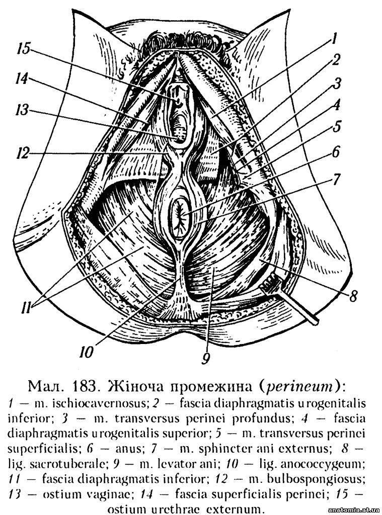 органів — протилежної);