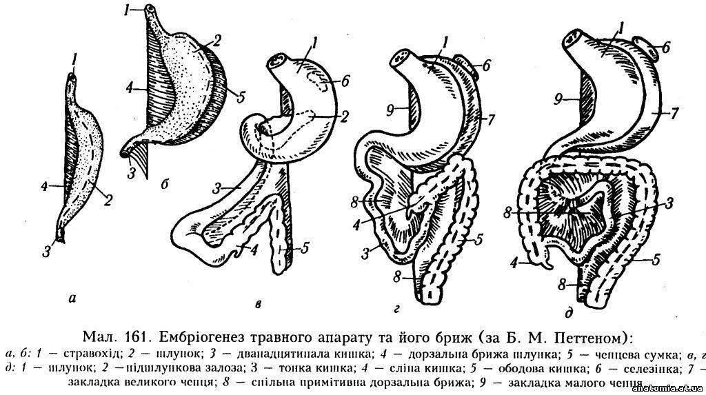 фіксації органів черевної